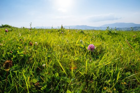 Close view of several red clover heads (trifolium ...