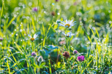 Photo for Summer meadow. Red clover flowers on the field. - Royalty Free Image
