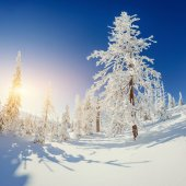 The sun's rays make their way through the snow-covered spruce in