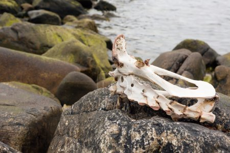 Sheep skeleton on beach