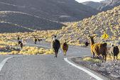 Herd of llamas crossing the road, Chile