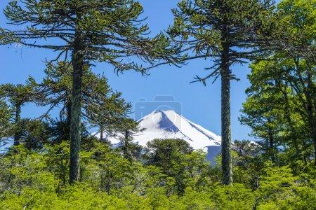 Photo pour Forêt d'Araucaria dans le Parc National de Conguillio, Chili - image libre de droit