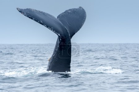 Photo for Humpback Whale in Puerto Lopez, Ecuador - Royalty Free Image