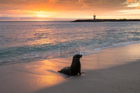 Baby fur seal at Punta Carola, Galapagos islands