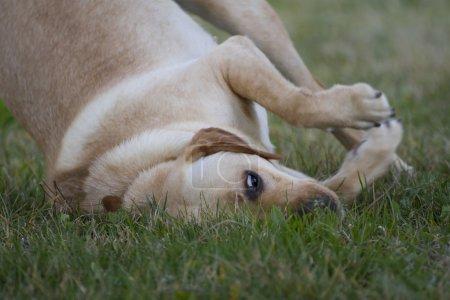 Brown labrador in a grass field