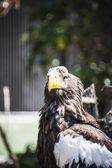 Spanish golden eagle