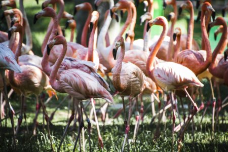 Group of flamingoes