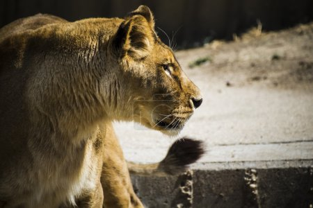 Lioness in a zoo