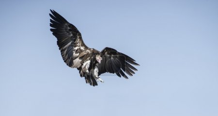 Vulture on clear blue sky