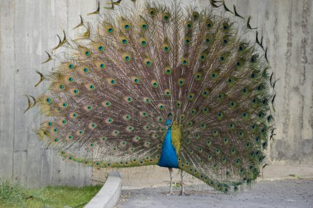 Peacock with feathers with huge open