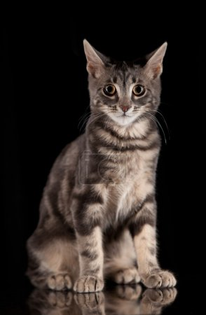 Cat on a black background