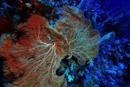 Photo pour Gorgone sur un récif corallien sur fond - image libre de droit