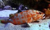 grouper underwater photo