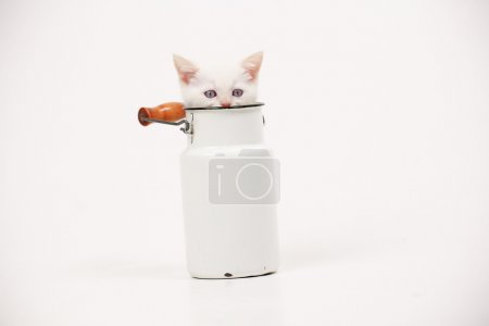 White British kitten