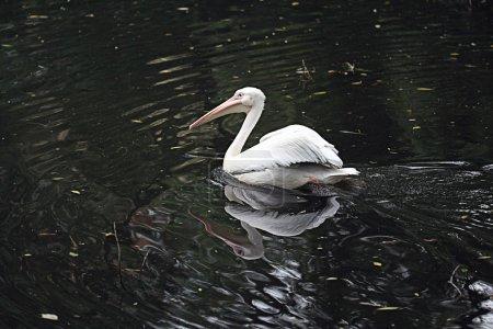 White pelican on pond