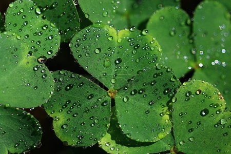 Oxalis leaves with water drops