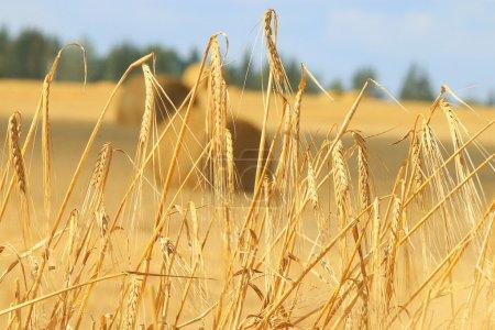 Wheat on farm field