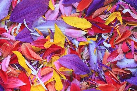 Foto de Textura natural de pétalos de flores multicolores - Imagen libre de derechos