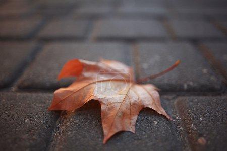 Maple leaf on pavement