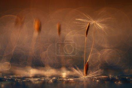 Photo pour Résumé fond orange naturel flou avec des graines de pissenlit - image libre de droit