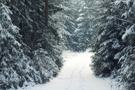 Photo pour Paysage d'hiver glacial dans la forêt de pins enneigés - image libre de droit