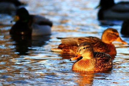Landscape with beautiful ducks