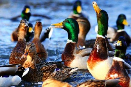 Photo pour Baignade Beaux canards sauvages au soleil - image libre de droit