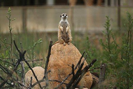 Meerkat on stone at zoo