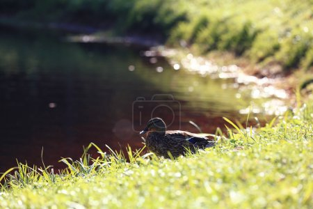 Water duck near lake