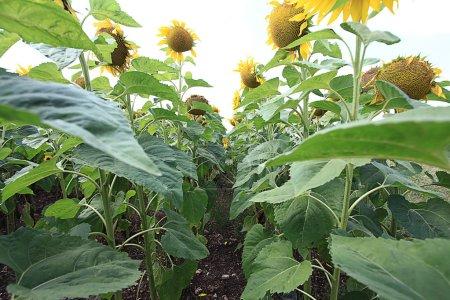 Sunflowers fiels summer landscape