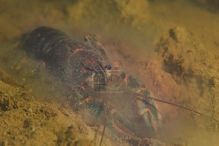 crayfish diving photo in river