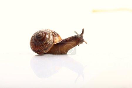Photo pour Macro escargot sur surface légère - image libre de droit