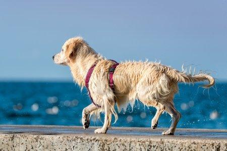 Golden Retriever dog enjoying summer