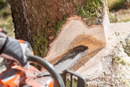 Worker felling the tree with chainsaw and wedges
