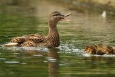 ženské kachna quacking