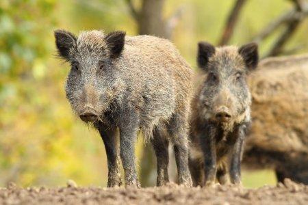 family of wild hogs