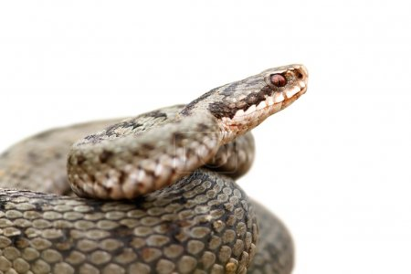 isolated portrait of common female european adder