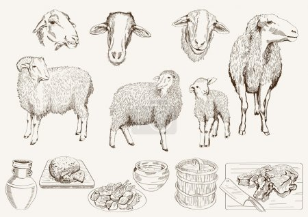Illustration for Sheep breeding. set of vector sketches on a white background - Royalty Free Image