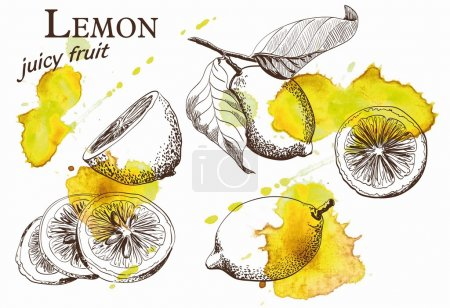 Illustration for Hand drawn illustrations of beautiful yellow lemon fruits - Royalty Free Image