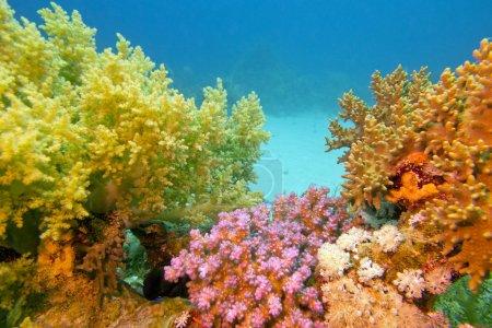 Photo pour Récif corallien coloré avec des coraux mous en mer tropicale sur fond d'eau bleue - image libre de droit