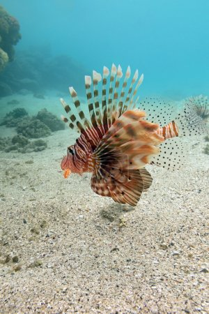 lionfish at the bottom of tropical sea - underwater