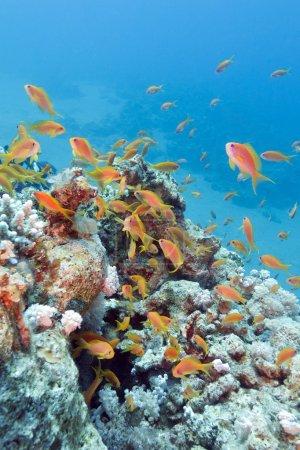 Photo pour Récif corallien coloré avec haut-fond de poissons écailles anthias en mer tropicale - image libre de droit