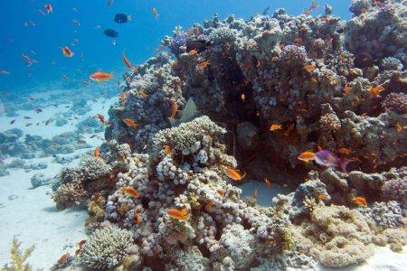 Photo pour Récif corallien coloré avec des poissons exotiques Anthias au fond de la mer tropicale, sous-marin - image libre de droit