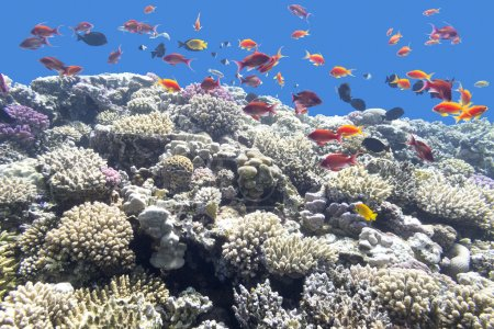 colorful coral reef with exotic fishes in tropical sea, underwat