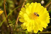 Květy měsíčku officinalis