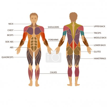 Illustration for Vector muscular human body, muscle man anatomy, - Royalty Free Image
