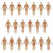 Human body, muscle
