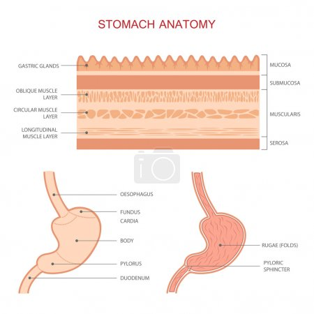human stomach anatomy,