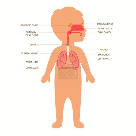 Illustration pour Anatomie du système respiratoire humain, illustration de nez médical vecteur enfant - image libre de droit