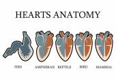 Comparison of cardiac anatomy of vertebrates